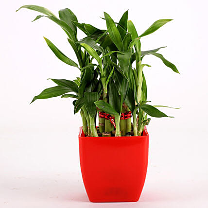 2 Layer Bamboo Plant In Red Melamine Pot: Send Good Luck Plants