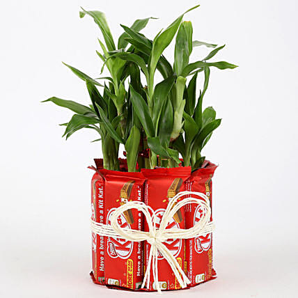 2 Layer Lucky Bamboo Kit Kat Chocolates: Indoor Plants