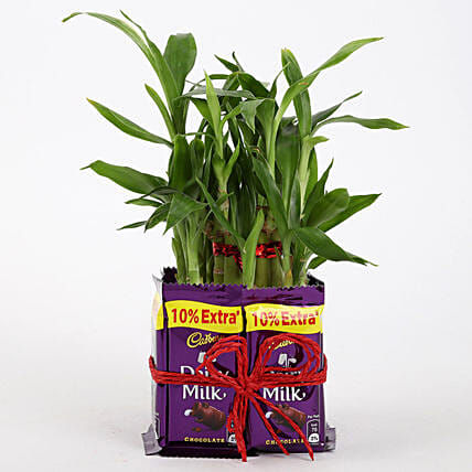 2 Layer Lucky Bamboo With Dairy Milk Chocolates: Buy Indoor Plants