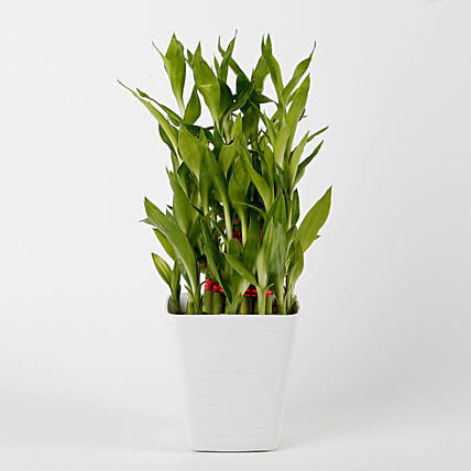 3 Layer Bamboo Plant in Striped Imported Plastic Pot: Valentines Day Lucky Bamboo