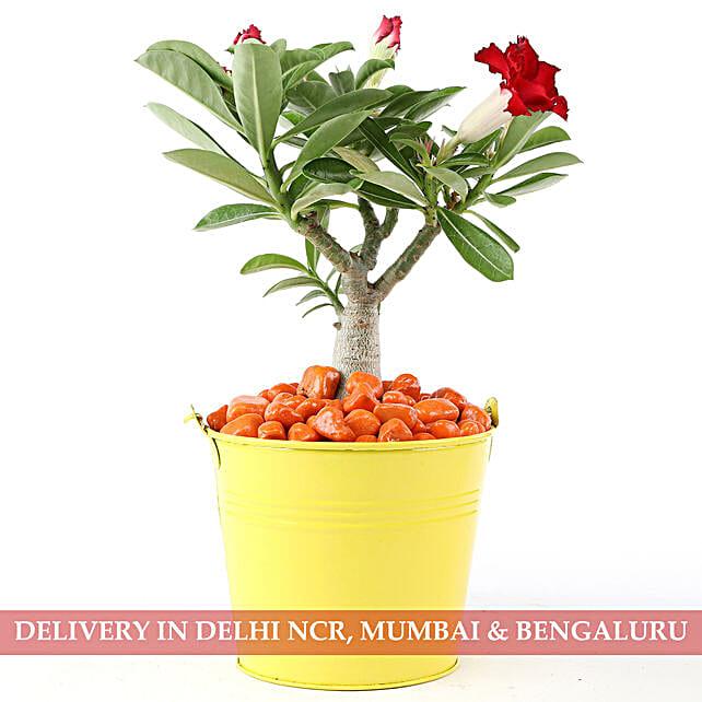 Adenium Red In Yellow Pot & Orange Pebbles: Bonsai Plants