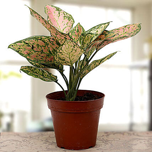 Aglaonema plant: Ornamental Plants