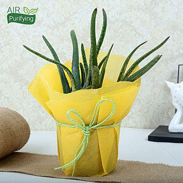 Amazing Aloe Vera Plant: Medicinal Plants