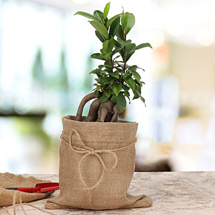 Amazing Ficus Microcarpa Plant: Brothers Day Gifts