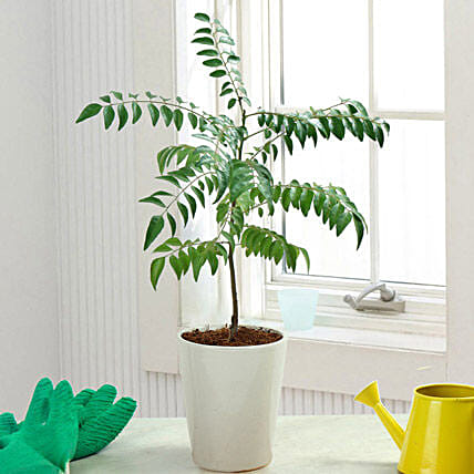 Aroma Of Curry Leaf Plant: Tropical Plant Gifts