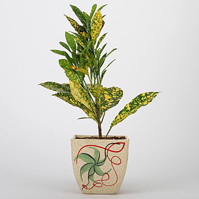 Baby Croton Plant In Printed Ceramic Pot: Exotic Plants