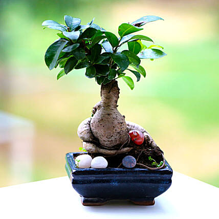 Beautiful Ficus Microcarpa Plant: Desktop Plants