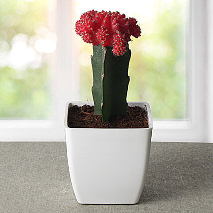 Bring Your Moon Cactus Plant: Exotic Plant Gifts