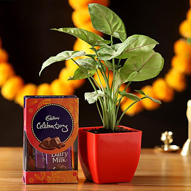Cadbury Celebrations With Syngonium Plant: Chocolate Combos
