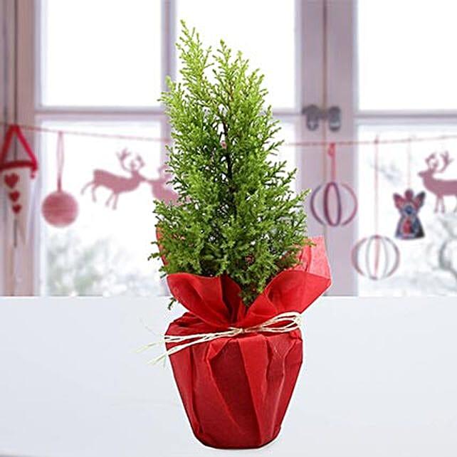 Cyprus Greenery Plant: Christmas Trees & Plants