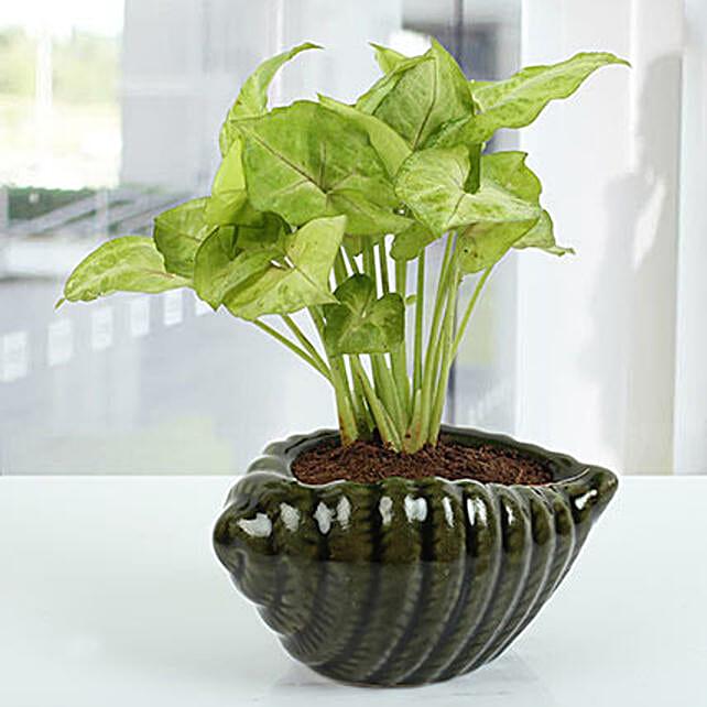 Dark green Shell Syngonium Plant: Plants For Bathroom