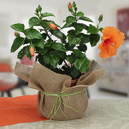 Delightful Hibiscus Plant: Ornamental Plant Gifts