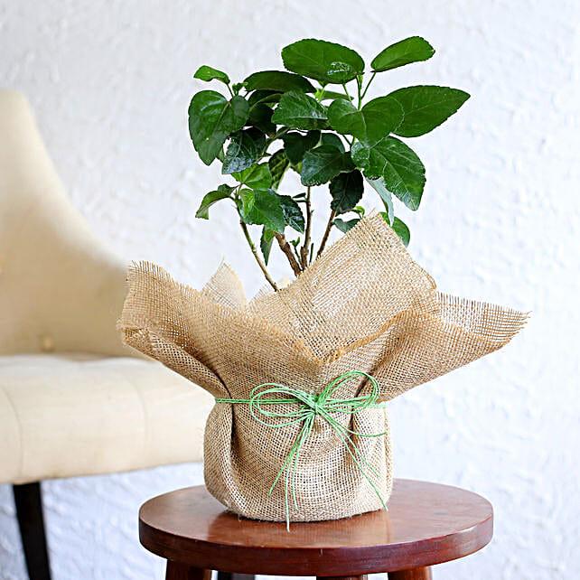 Delightful Hibiscus Plant: Flowering Plants