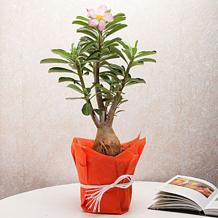 Desert Rose Adenium Plant: Ornamental Plants