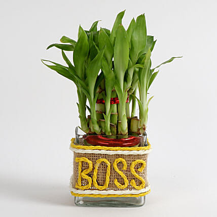 Evergreen 2 Layer Lucky Bamboo Plant for Boss: Gift For Boss