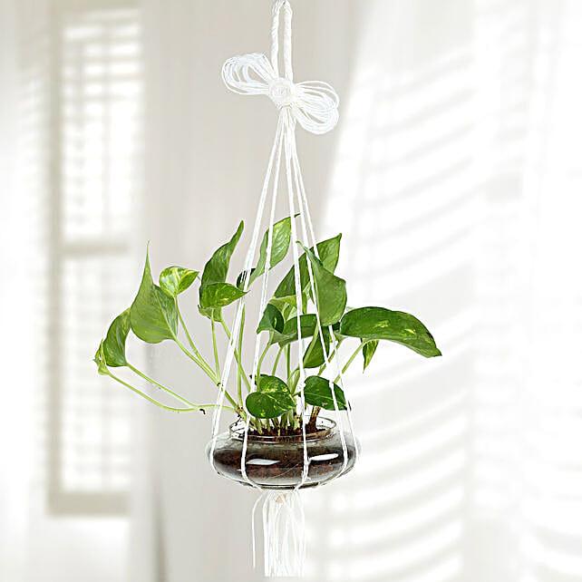 Evergreen Hanging Money Plant Terrarium: