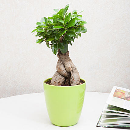 Exotic Ficus Ginseng Bonsai Plant: Send Gifts for Dussehra