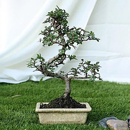 Fashionable Ulmus S Shape Bonsai Plant: Rare Plants