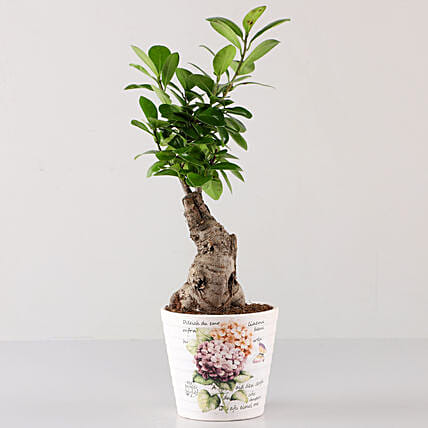 Ficus Bonsai In Lavender Découpage Planter: Rare Plants