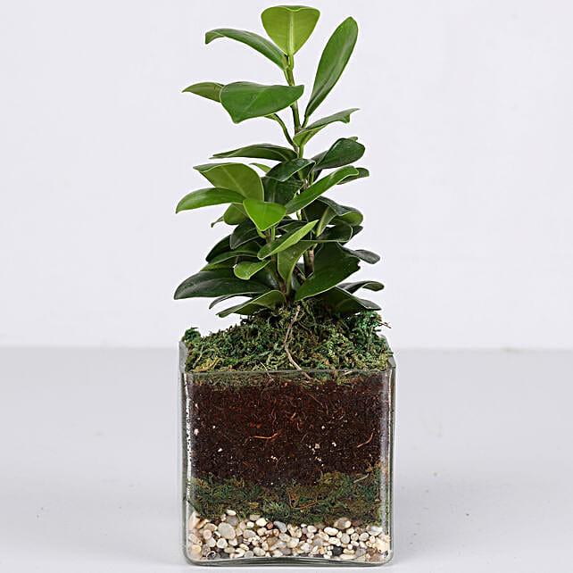 "Ficus Compacta Plant 3"" Glass Terrarium: Terrariums Plants"