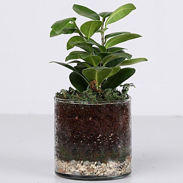 """Ficus Compacta Plant 4"""" Cylinder Glass Terrarium: Terrariums Plants"""