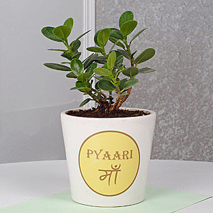 Ficus Dwarf Plant For Mom Birthday Gifts
