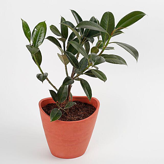 Ficus Elastica Plant in Half Moon Recycled Plastic Pot: Plants for Living Room