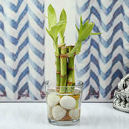 Find Luck With Bamboo plant: Rare Plants