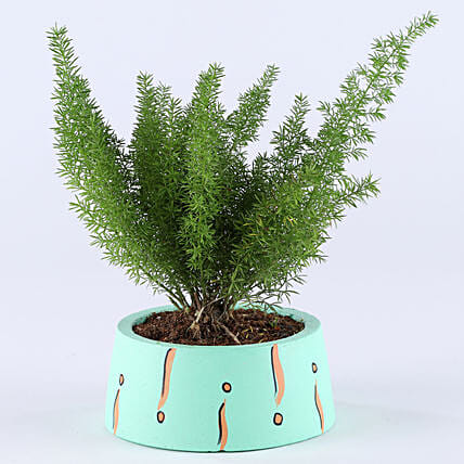 Foxtail Asparagus Fern In Green Concrete Pot: Best Outdoor Plant