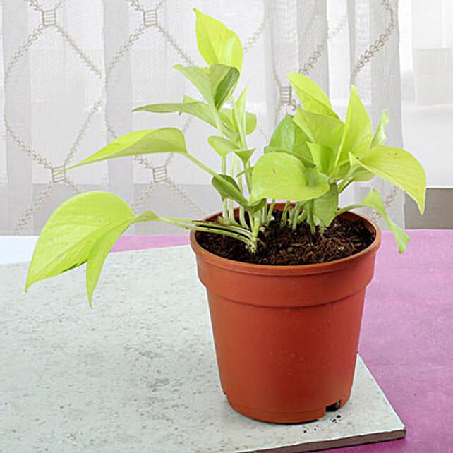 Fresh Money Plant: Spiritual Plant
