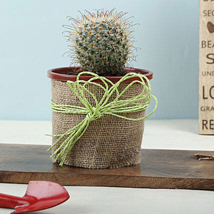 Furry Echinocactus Plant: Exotic Plant Gifts
