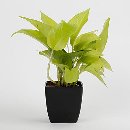 Golden Money Plant in Black Imported Plastic Pot: Cactus and Succulents Plants