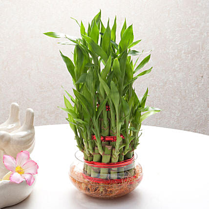 Good Luck Three Layer Bamboo Plant: Send Good Luck Plants
