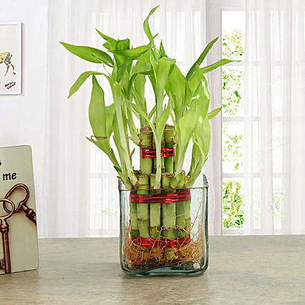 Good Luck Two Layer Bamboo Plant: Gift Ideas
