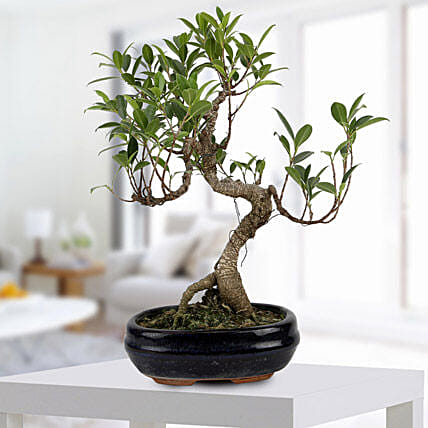 Gorgeous Ficus S shaped Plant: Gifts for 21St Birthday