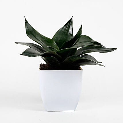 Green Sansevieria Plant In White Imported Plastic Pot: Spiritual Plant