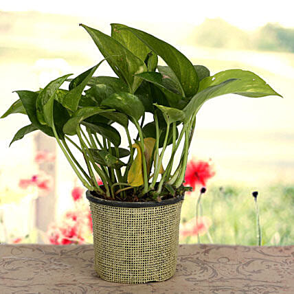 Growing 24x7 Money Plant: Gifts for Hug Day