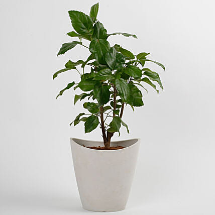 Hibiscus Plant in White Half Moon Recycled Plastic Pot: Exotic Plant Gifts