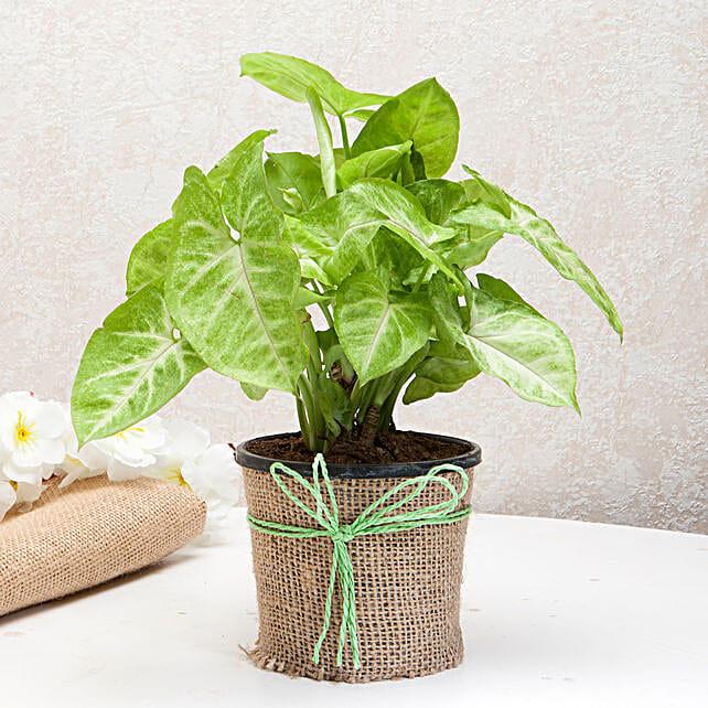 Hue of Green Syngonium Plant: Send Spiritual Gifts