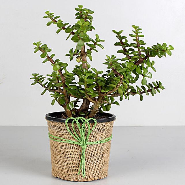 Jade Plant in Black Plastic Pot: Succulents and Cactus Plants