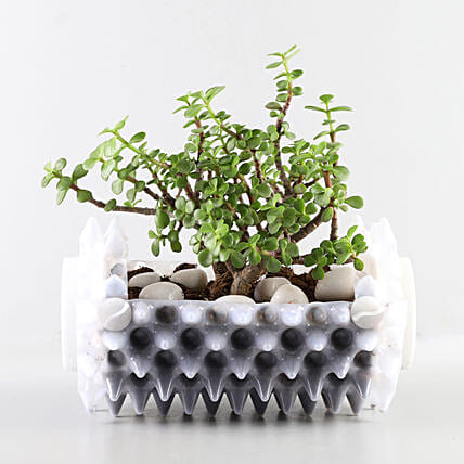 Jade Plant In White Foldable Planter: Buy Indoor Plants