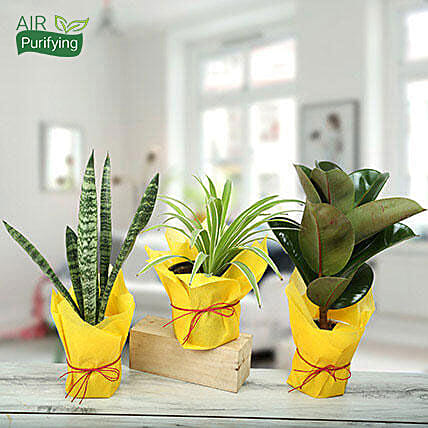 Live Green Trio Plants: Tropical Plants