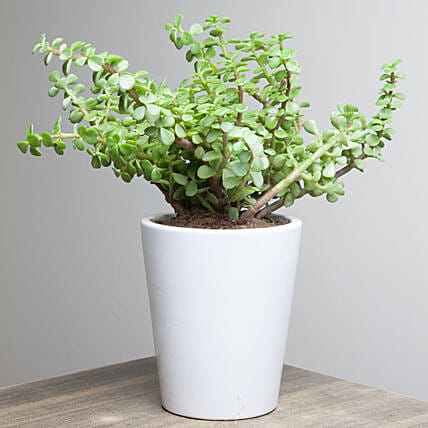 Lively Jade Plant: Potted Plants