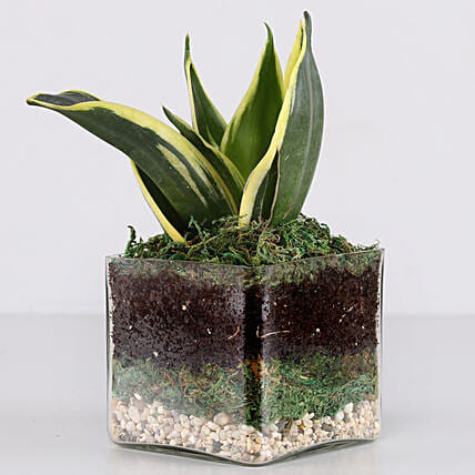 "Lotus Sansevieria Plant 3"" Glass Terrarium: Ornamental Plants"