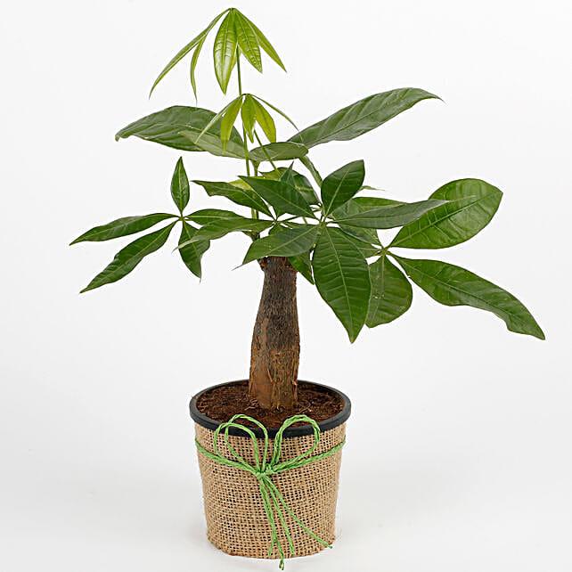 Lucky Pachira Bonsai Plant: Tropical Plant Gifts