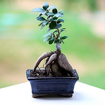 Marvellous Ficus Microcarpa Plant: Gifts for Brothers Day