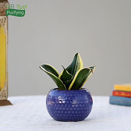 MILT Sansevieria Plant In Designer Blue Ceramic Pot: Cactus and Succulents Plants
