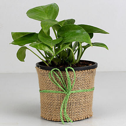 Money Plant in Black Plastic Pot: Money Plant
