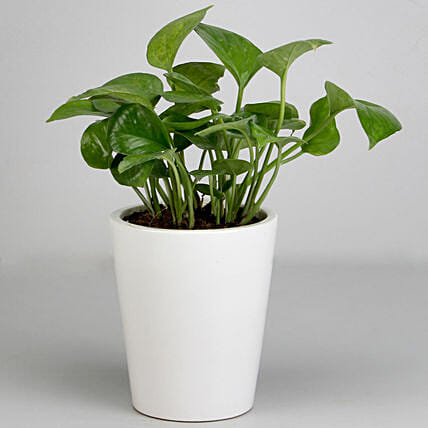 Money Plant in White Ceramic Pot: Money Tree