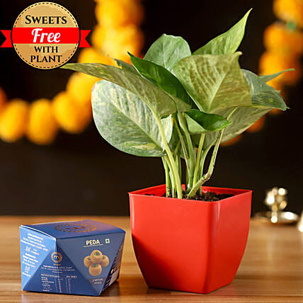Money Plant & Misht Peda: Sweets Delivery